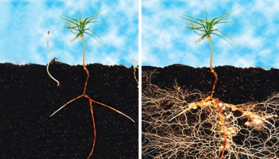 cách sử dụng thuốc kich rễ