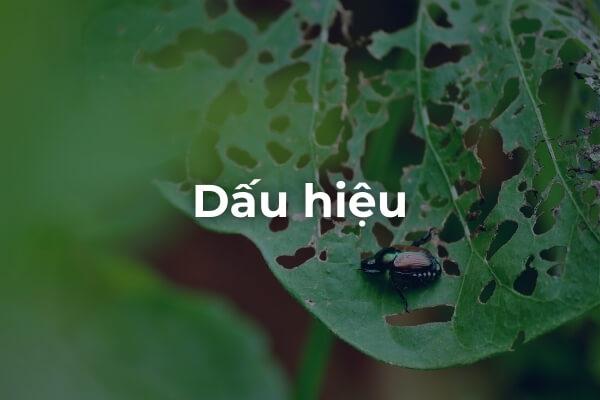 Dấu hiệu của Bọ cánh cứng ăn lá cây