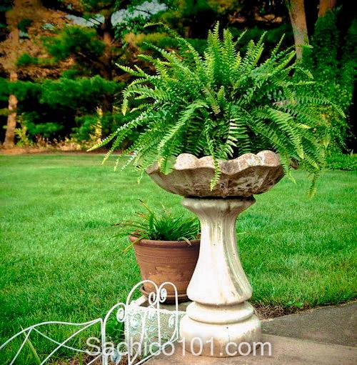 các loại cây dương xỉ