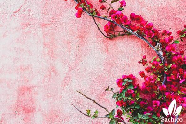 Cây hoa giấy lùn
