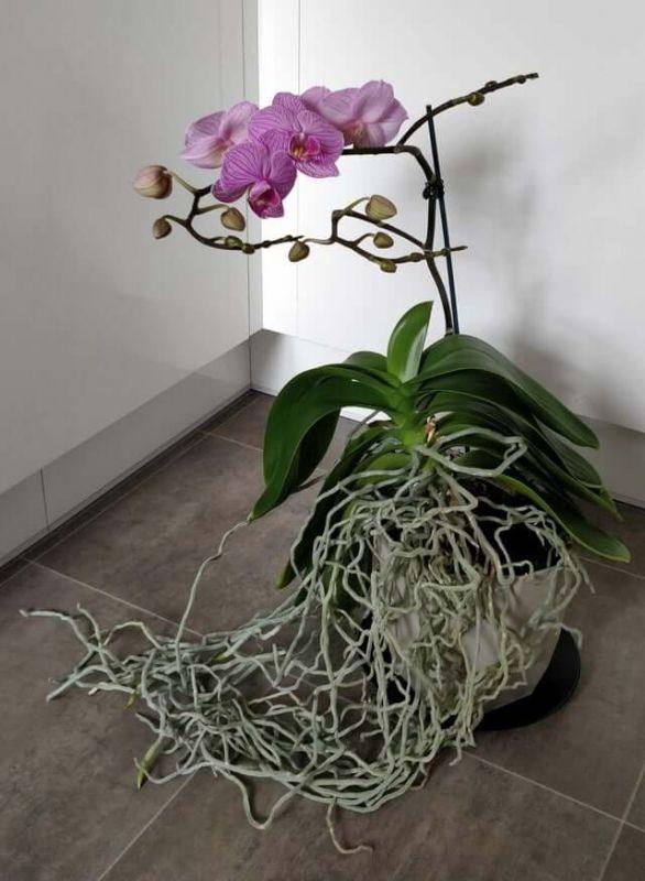 Hoa phong lan tím
