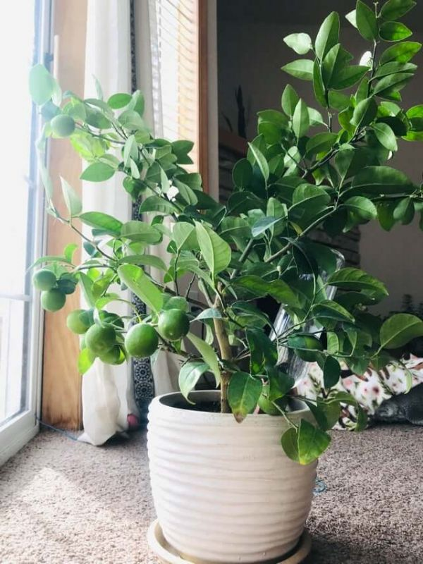 Cây chanh trồng trong chậu màu trắng