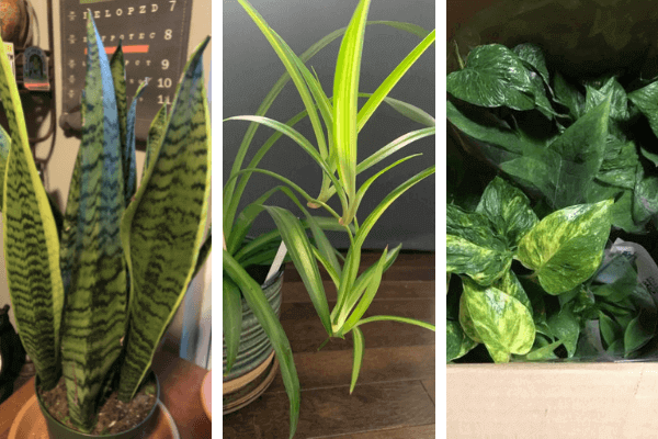 3 loại cây phát tài phổ biến
