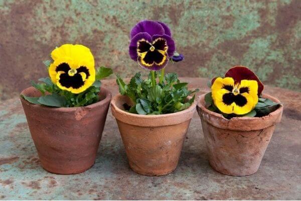 Hoa phăng xê trồng trong chậu nhỏ