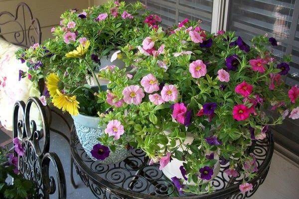 Hoa dạ yến thảo trồng trong chậu
