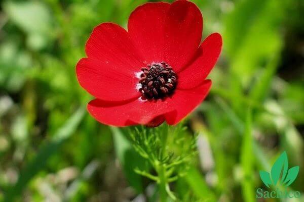 Cây cỏ phúc thọ màu đỏ