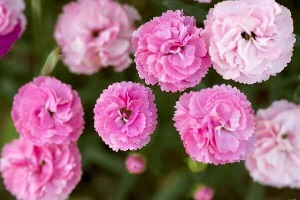 Hoa cẩm chướng màu hồng