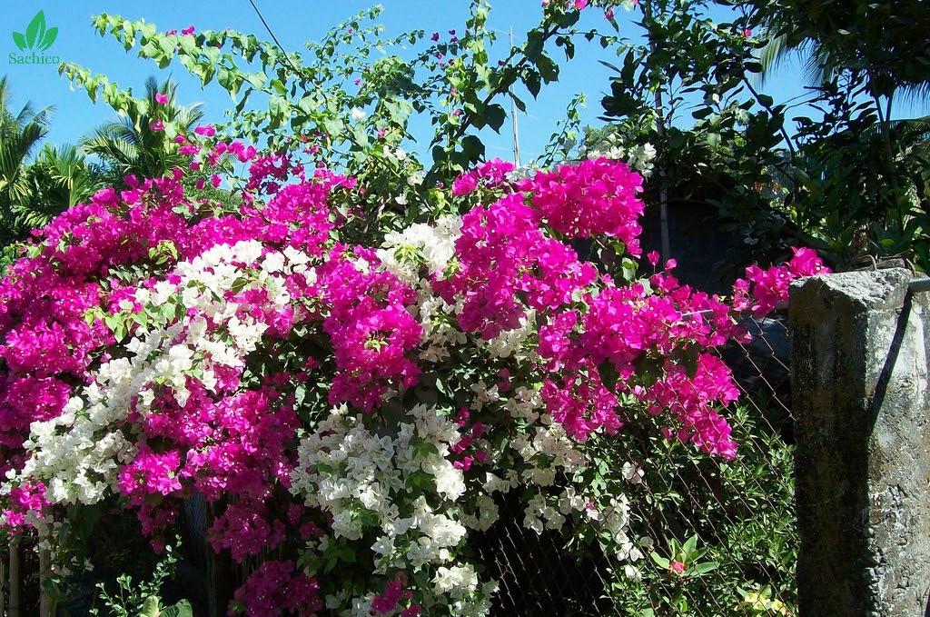 Sử dụng hoa giấy làm hàng rào