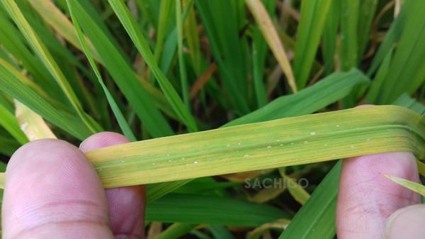 Rầy phấn trắng gây vàng lá ở cây lúa