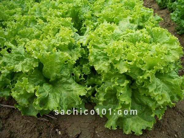 cách gieo hạt rau xà lách