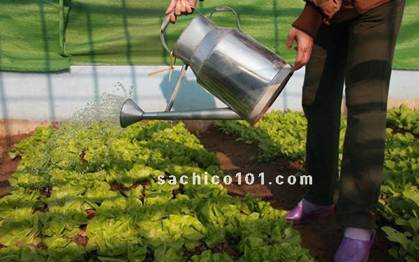 cách gieo hạt rau xà lách và chăm sóc