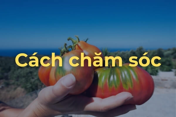 Chăm sóc và cách trồng cà chua Beef