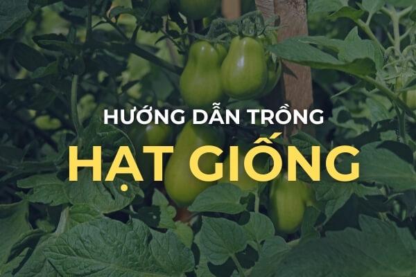 Cách trồng cà chua Roma từ hạt giống