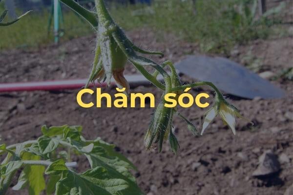 Chăm sóc cây cà chua Roma