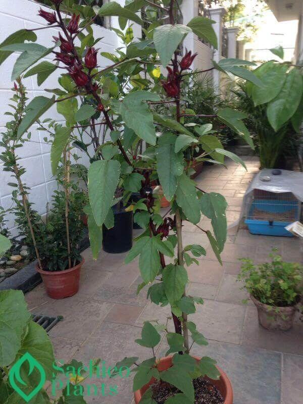 cây bụp giấm trồng trong chậu
