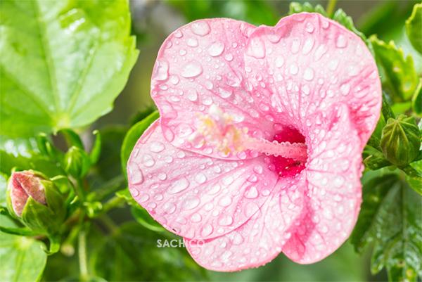 Tưới nước cho cây hoa dâm bụt