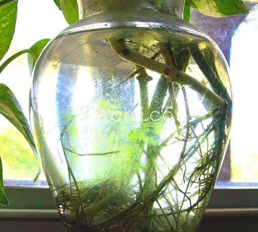 cách trồng trầu bà trong nước