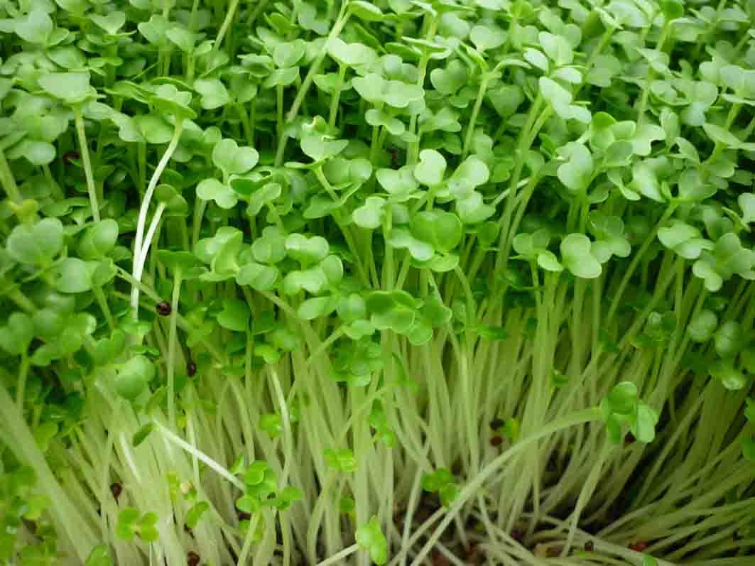 Cách trồng đậu xanh tại nhà