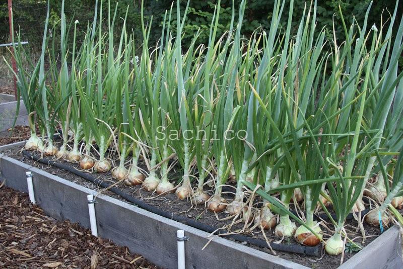 Cách trồng hành củ bằng hạt giống