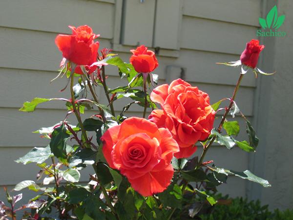 cách trồng hoa hồng trong chậu tại nhà