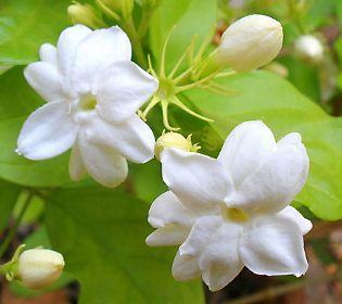 Cách trồng Hoa Nhài ra hoa nhiều