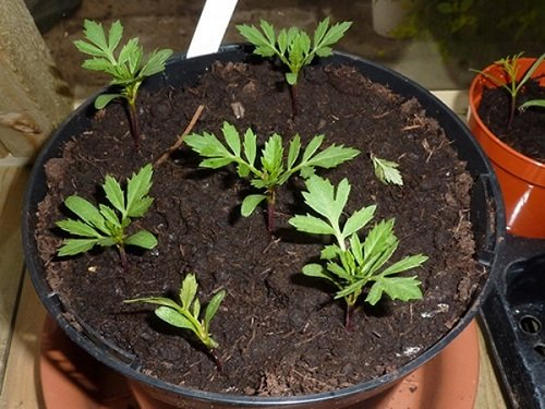 Cách trồng hoa cúc vạn thọ trong chậu