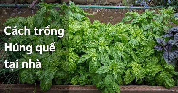 Húng quế tây xanh tốt trồng tại nhà