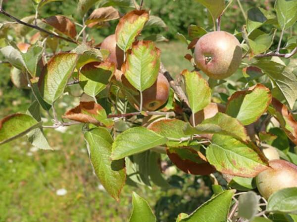 cách trồng táo bằng hạt