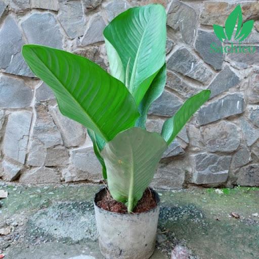 cây đại phú gia có độc không