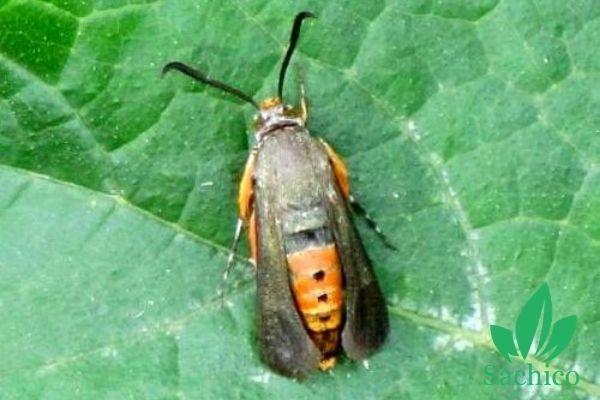 Sâu đục thân phát triển thành loài côn trùng có đôi cánh màu đen và lưng màu đỏ