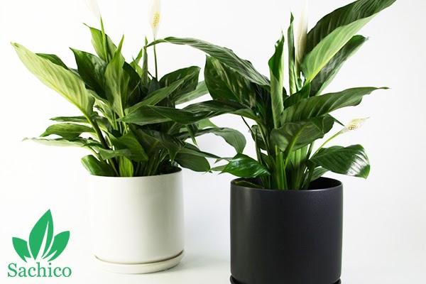Cây lan ý trồng trong chậu màu đen và màu trắng