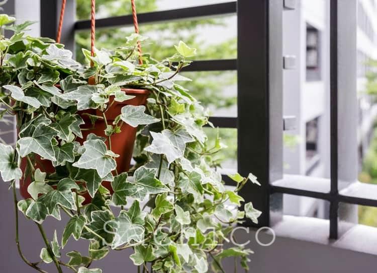 Cây Thường Xuân thích hợp trồng trên sân thượng