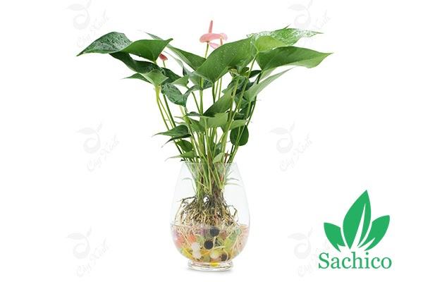 Cây Hồng Môn trồng trong nước