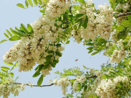 công dụng của hoa hòe khô