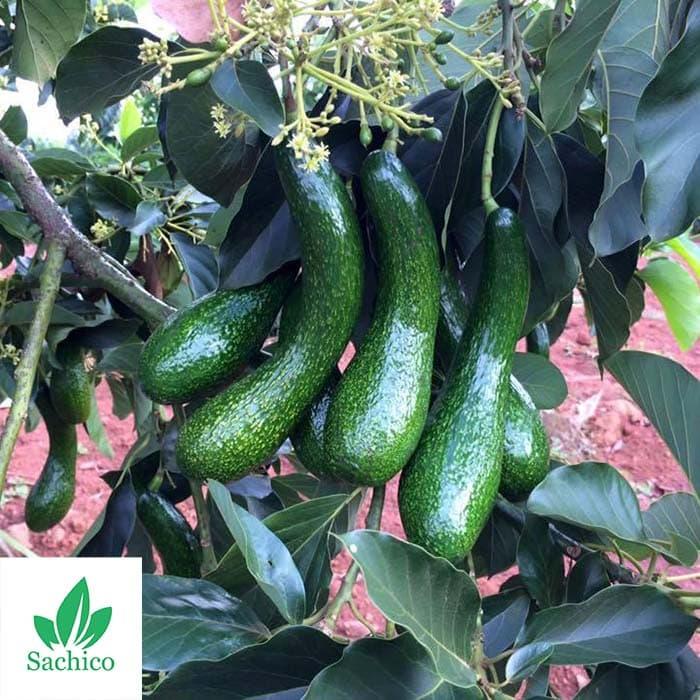 giống cây ăn quả mới năng suất cao