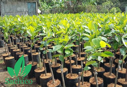 Tiêu chuẩn để chọn cây giống mít thái