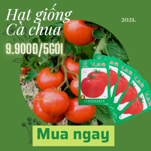 hat-giong-ca-chua