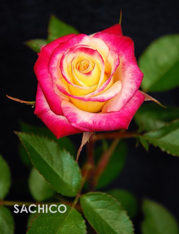 hoa hồng bông nhỏ