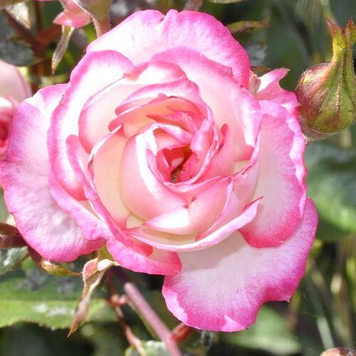 Hoa hồng bông nhỏ Magic Carousel
