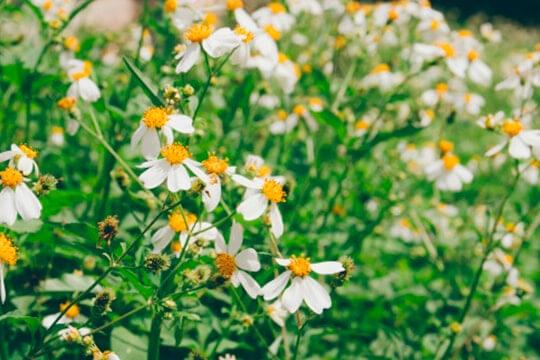 hoa Xuyến Chi là hoa gì