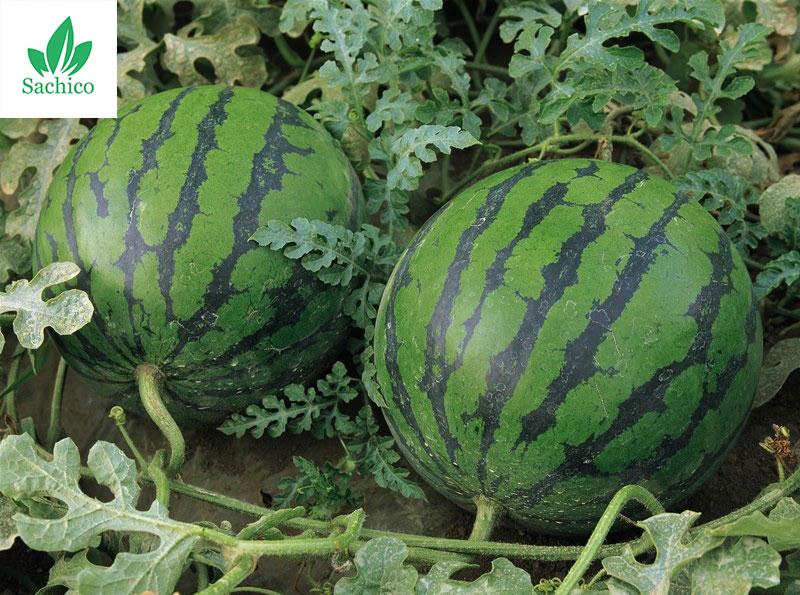 Thời vụ trồng dưa hấu