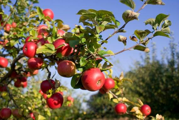 kỹ thuật trồng táo đỏ lùn f1