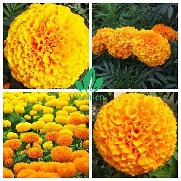 Hoa cúc vạn thọ vàng
