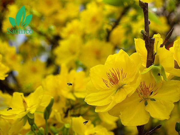 Hoa Mai vàng tượng trưng cho mùa xuân, sự may mắn, hạnh phúc