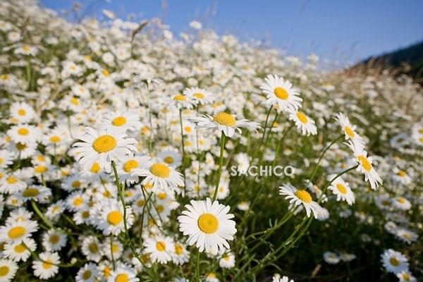 Hoa dại cúc la mã