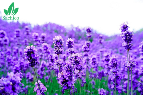 Tên các loại hoa có màu tím