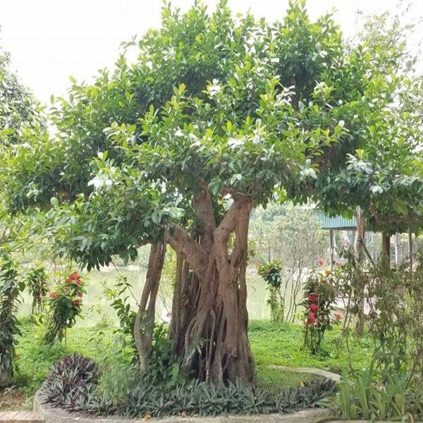 Các loại cây giâm cành phổ biến được nhiều người chuộng hiện nay