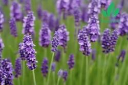 Tìm hiểu ý nghĩa và tên các loài hoa màu tím đẹp nhất
