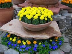 Cách trồng hoa vạn thọ trong chậu và chăm sóc cây hoa nở đẹp
