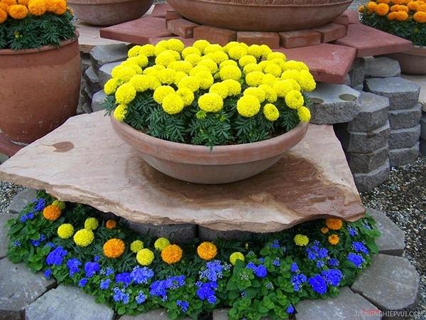Cách trồng hoa vạn thọ trong chậu và chăm sóc cây hoa